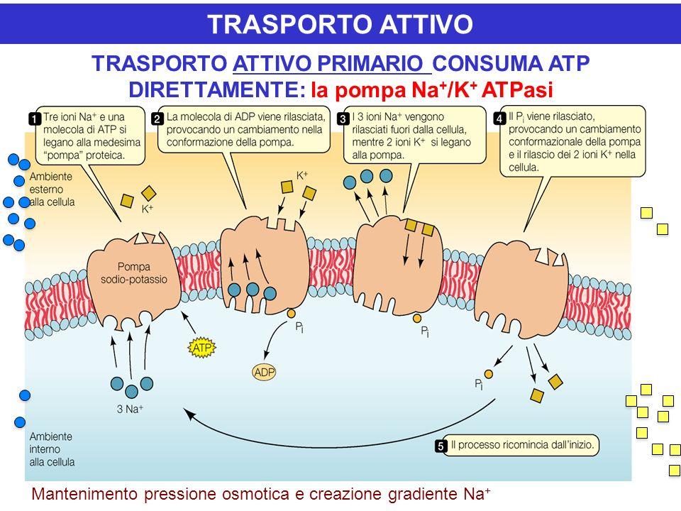 TRASPORTO ATTIVO TRASPORTO ATTIVO PRIMARIO CONSUMA ATP DIRETTAMENTE: la pompa Na+/K+ ATPasi.
