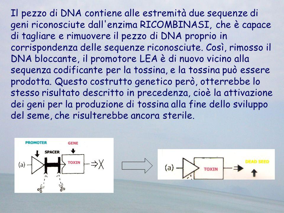Il pezzo di DNA contiene alle estremità due sequenze di geni riconosciute dall enzima RICOMBINASI, che è capace di tagliare e rimuovere il pezzo di DNA proprio in corrispondenza delle sequenze riconosciute.