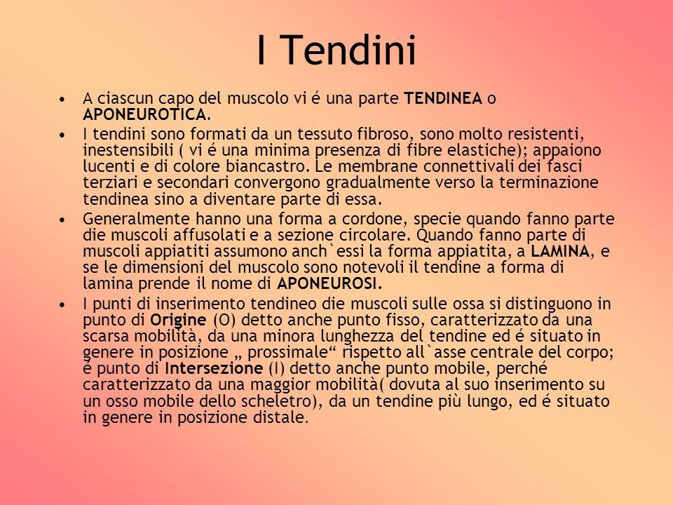 I Tendini A ciascun capo del muscolo vi é una parte TENDINEA o APONEUROTICA.
