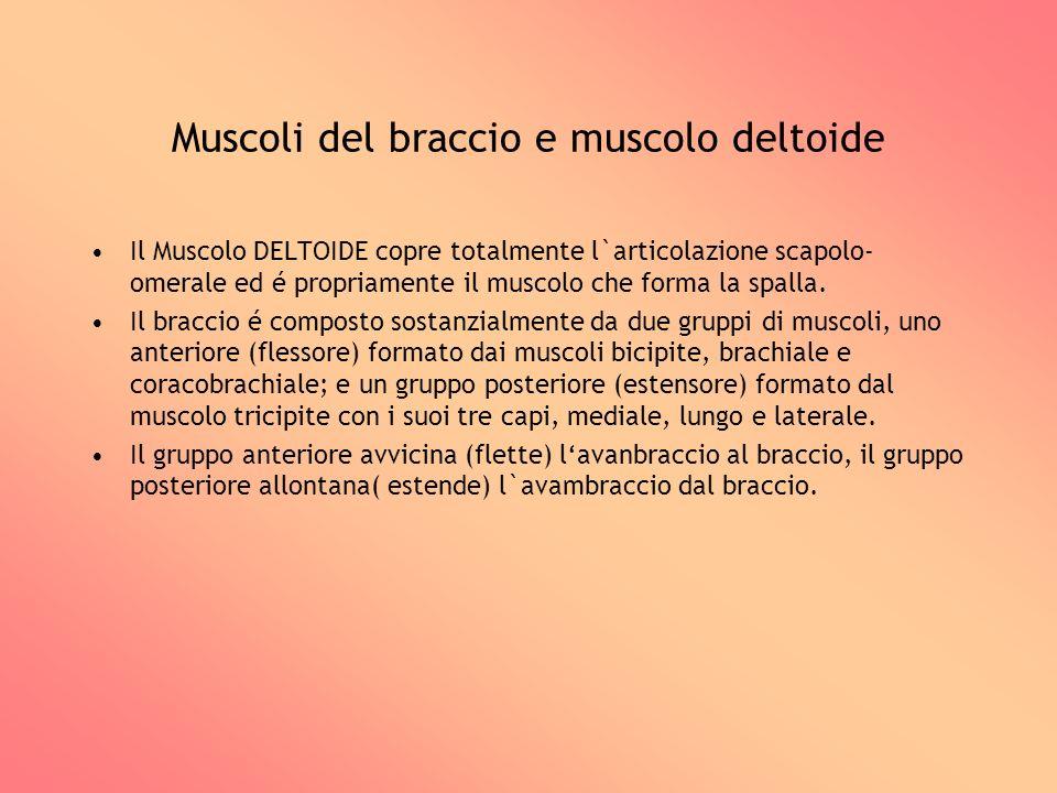Muscoli del braccio e muscolo deltoide