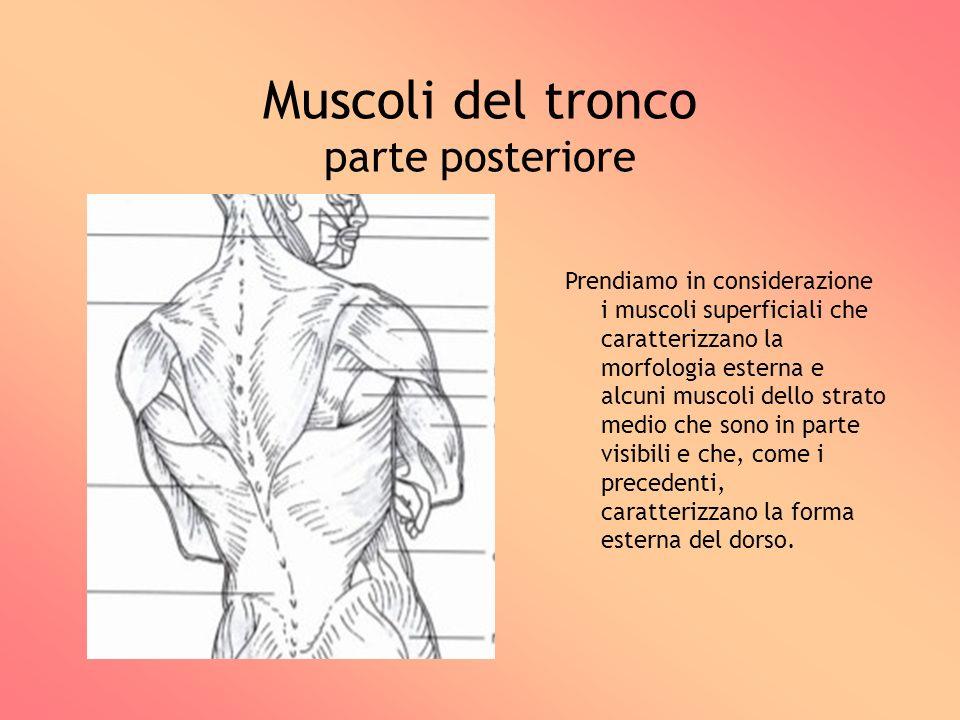 Muscoli del tronco parte posteriore