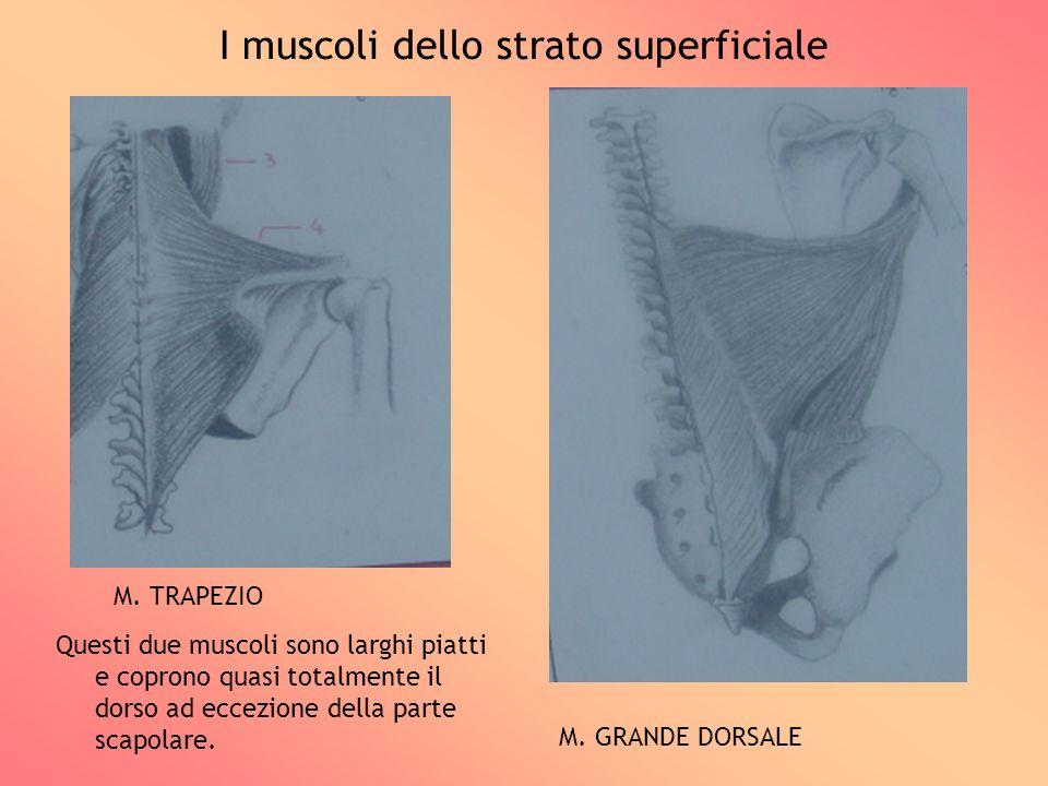 I muscoli dello strato superficiale