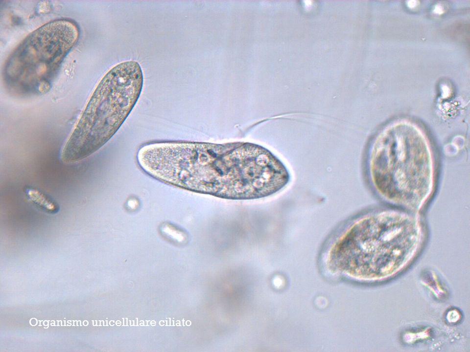 Organismo unicellulare ciliato
