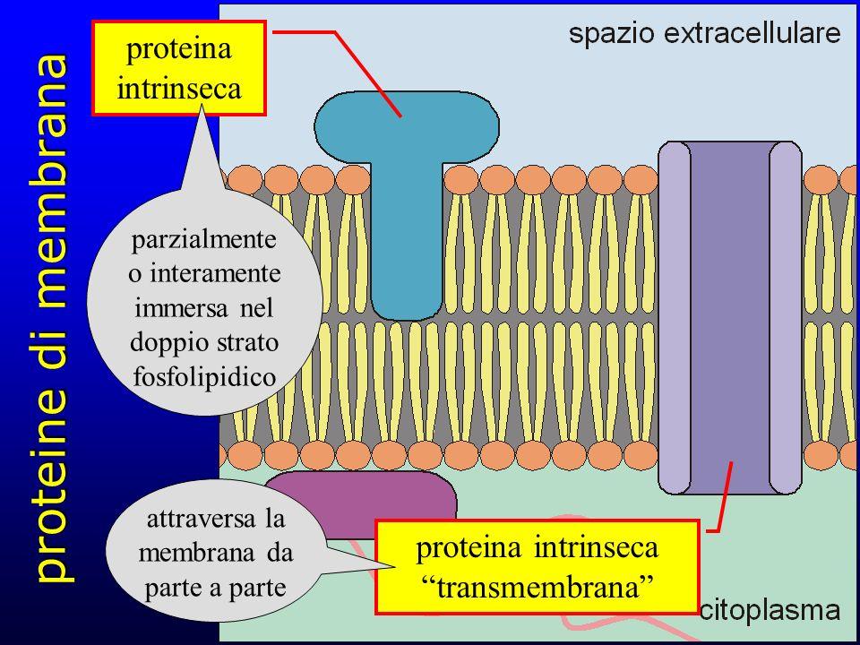 proteine di membrana proteina intrinseca