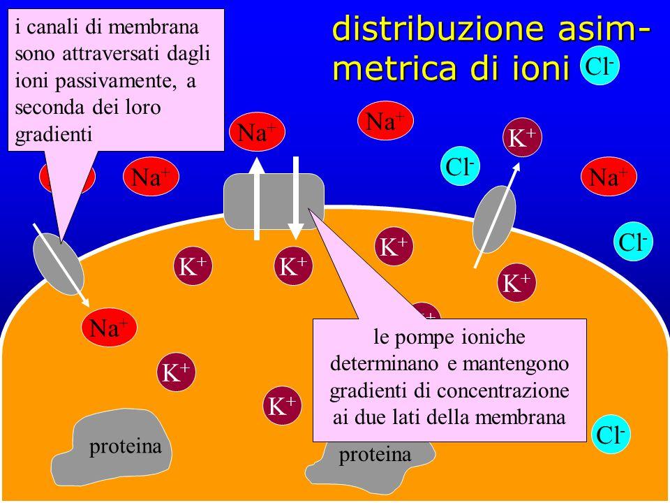 distribuzione asim-metrica di ioni
