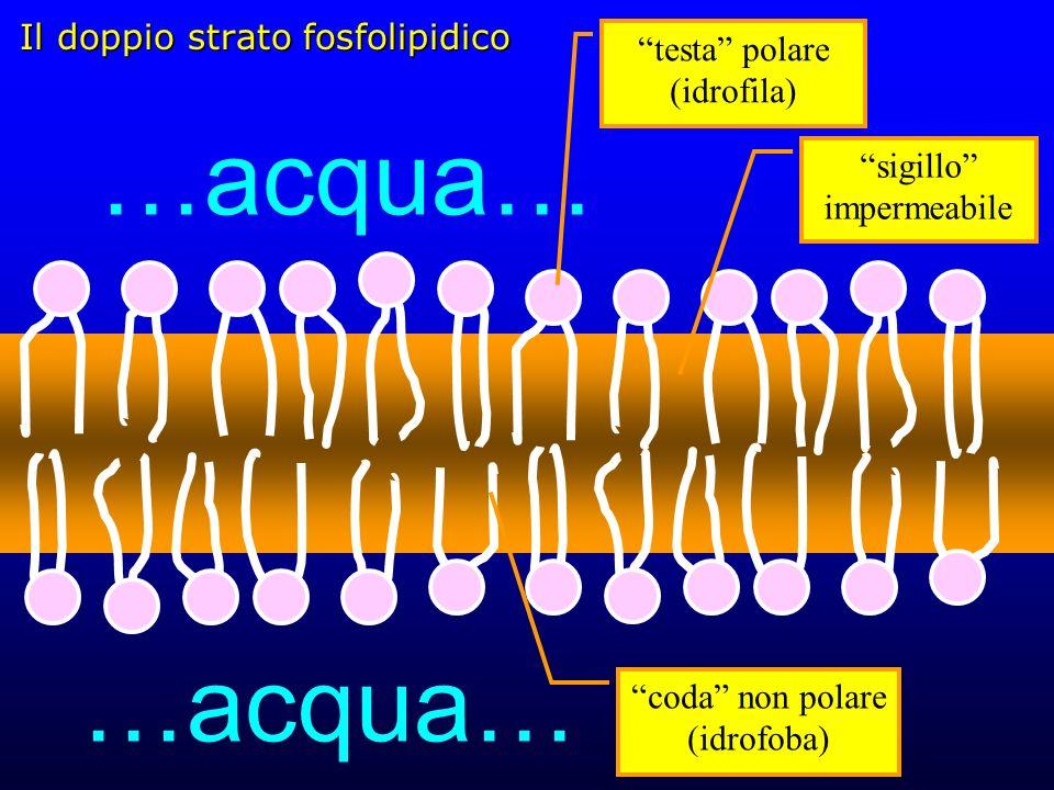Il doppio strato fosfolipidico