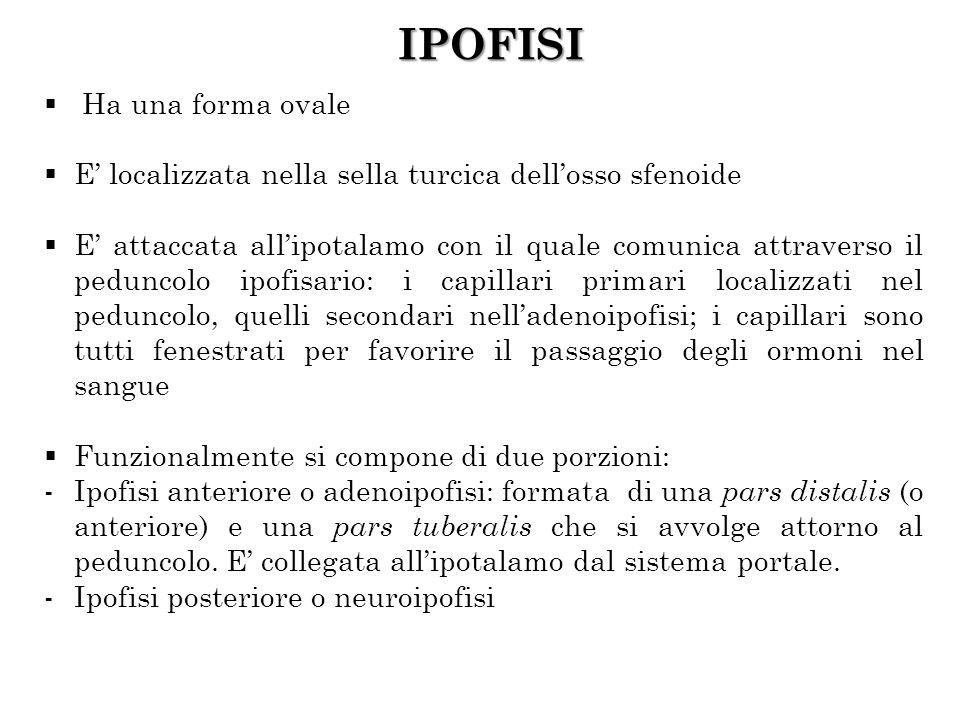 IPOFISI Ha una forma ovale
