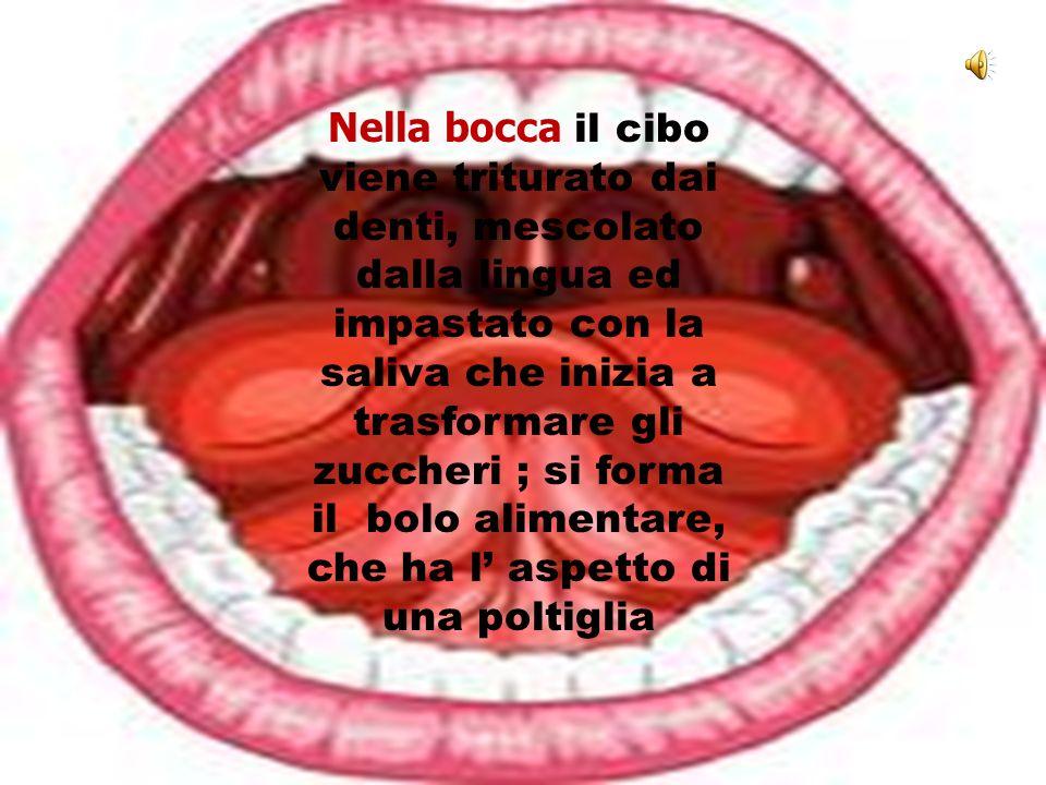 Nella bocca il cibo viene triturato dai denti, mescolato dalla lingua ed impastato con la saliva che inizia a trasformare gli zuccheri ; si forma il bolo alimentare, che ha l' aspetto di una poltiglia