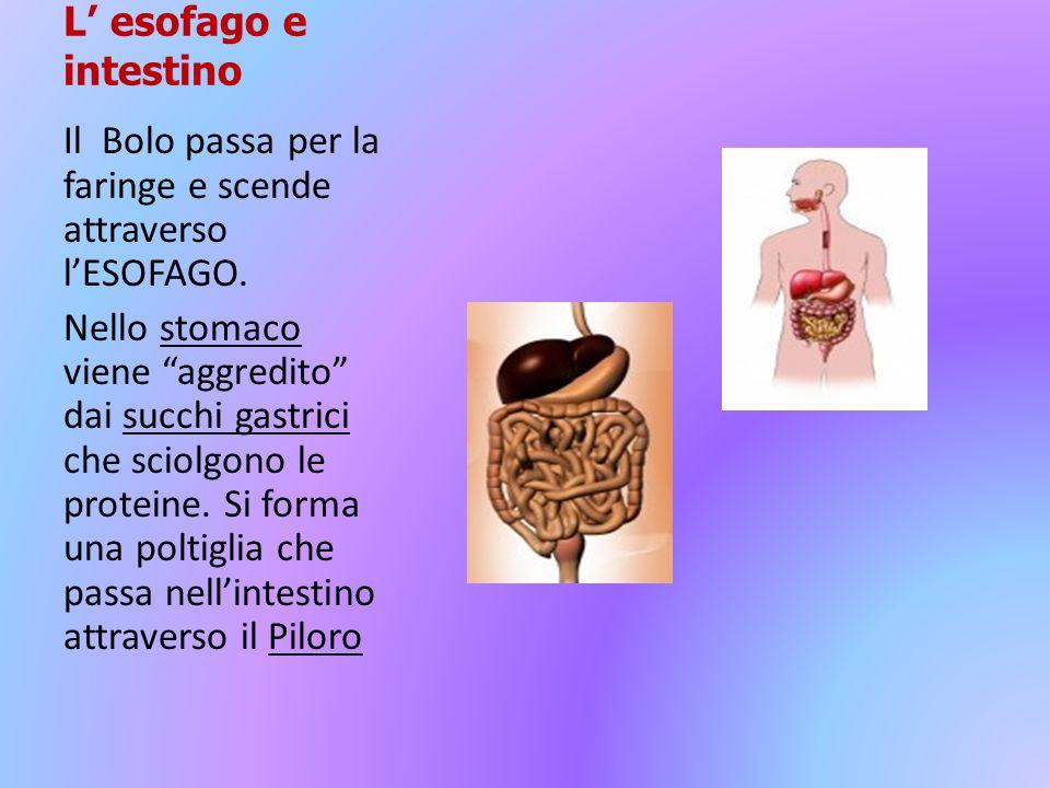L' esofago e intestino Il Bolo passa per la faringe e scende attraverso l'ESOFAGO.