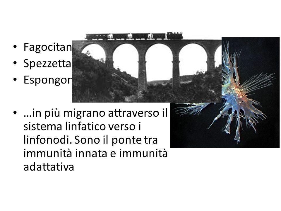 Cellule dendritiche Fagocitano Spezzettano Espongono