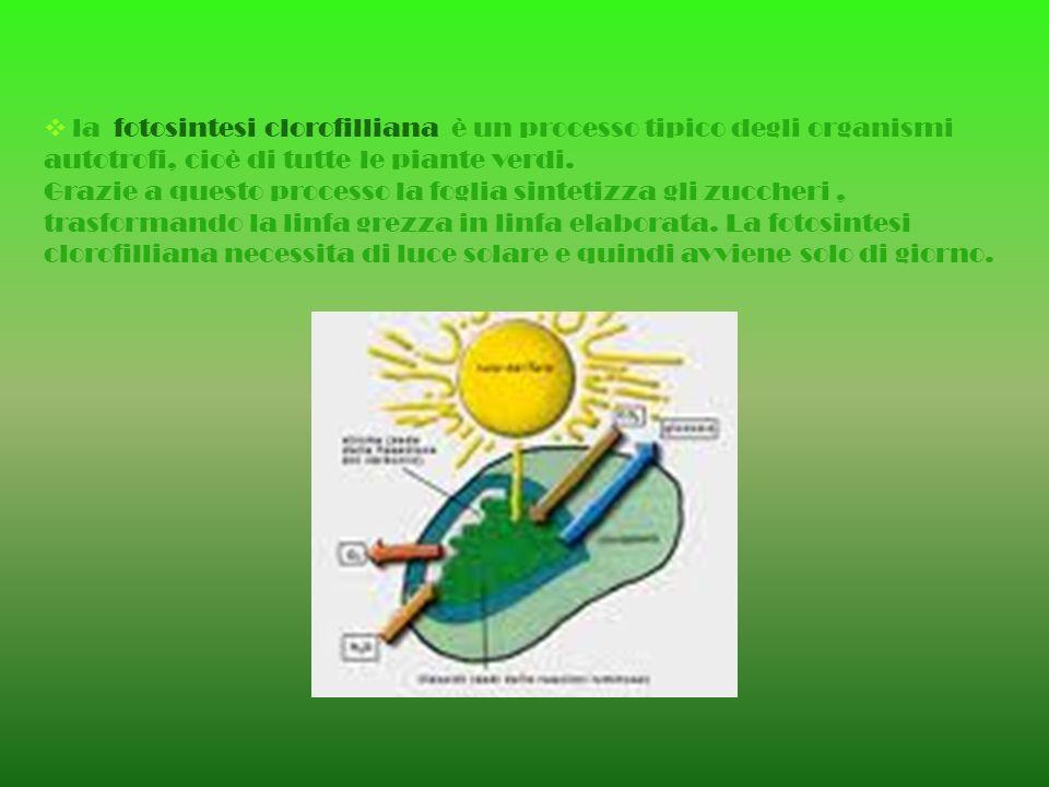 la fotosintesi clorofilliana è un processo tipico degli organismi autotrofi, cioè di tutte le piante verdi.