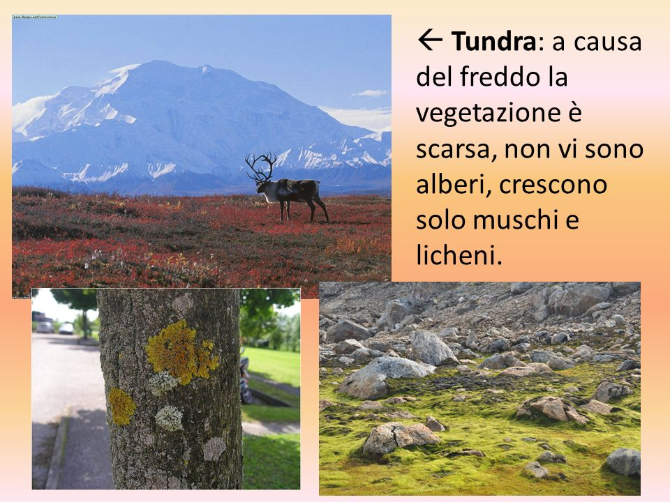  Tundra: a causa del freddo la vegetazione è scarsa, non vi sono alberi, crescono solo muschi e licheni.