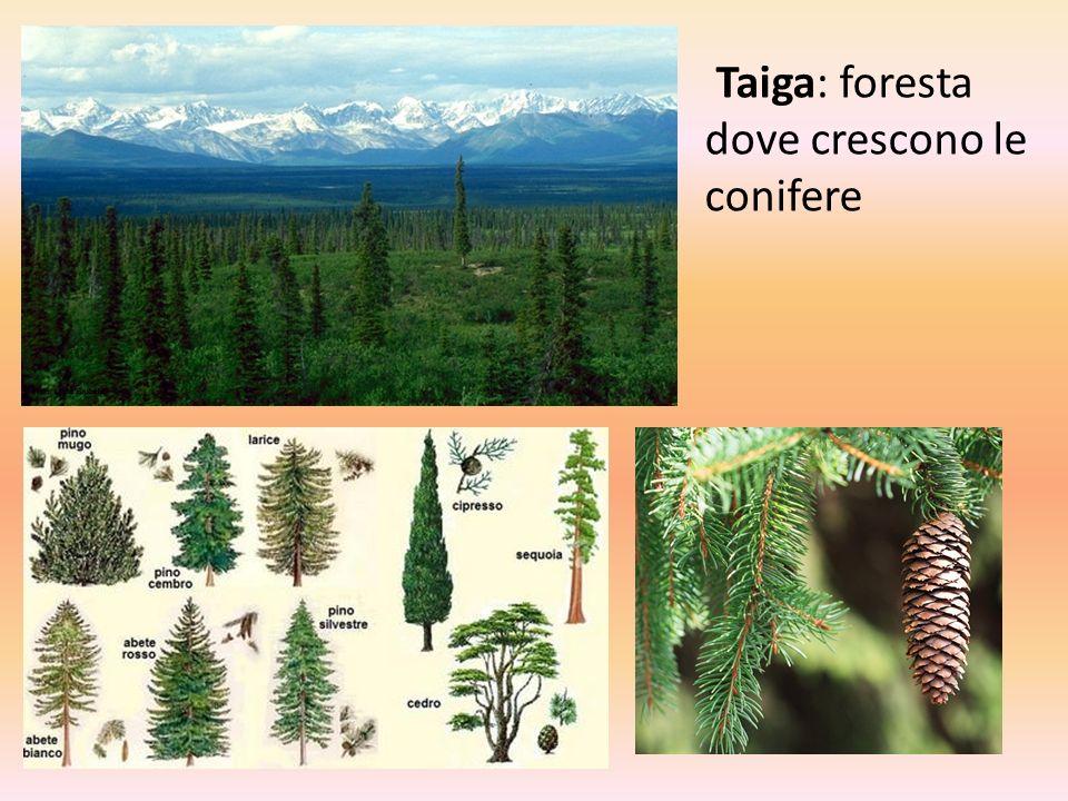 Taiga: foresta dove crescono le conifere