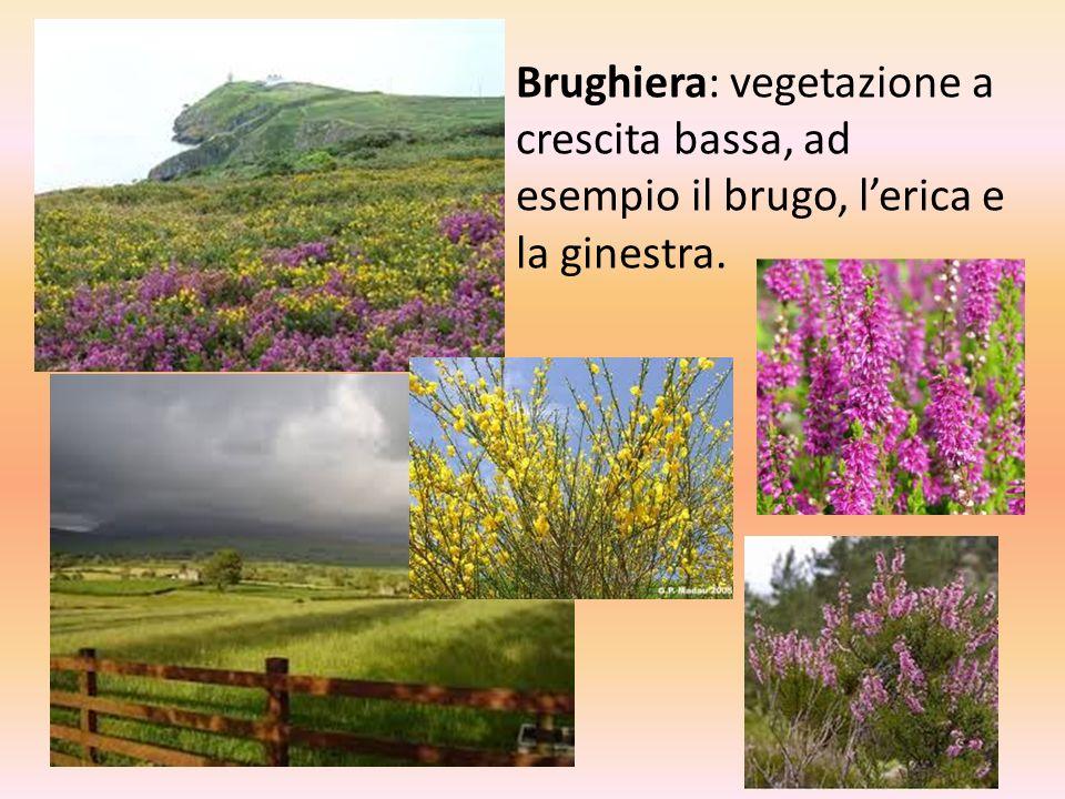 Brughiera: vegetazione a crescita bassa, ad esempio il brugo, l'erica e la ginestra.