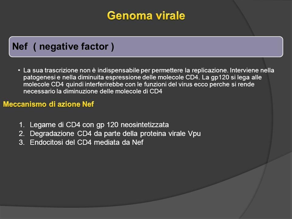 Genoma virale Nef ( negative factor ) Meccanismo di azione Nef