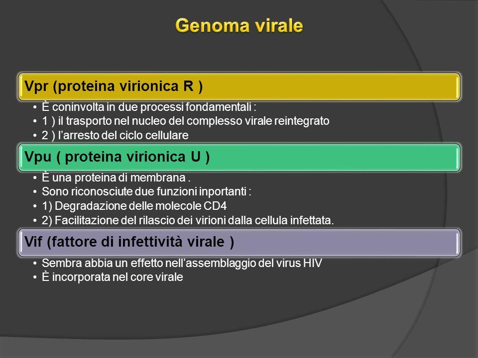 Genoma virale Vpr (proteina virionica R )