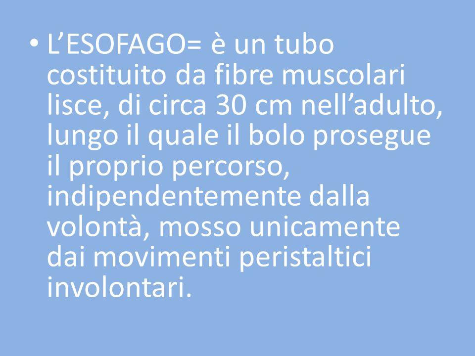 L'ESOFAGO= è un tubo costituito da fibre muscolari lisce, di circa 30 cm nell'adulto, lungo il quale il bolo prosegue il proprio percorso, indipendentemente dalla volontà, mosso unicamente dai movimenti peristaltici involontari.