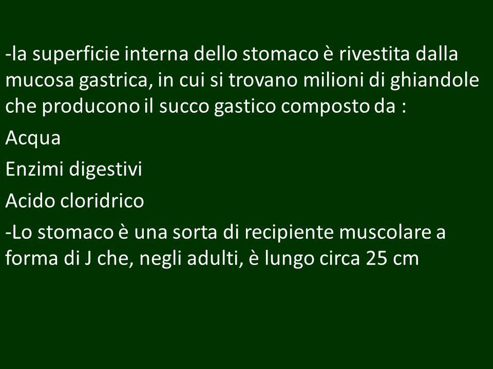-la superficie interna dello stomaco è rivestita dalla mucosa gastrica, in cui si trovano milioni di ghiandole che producono il succo gastico composto da : Acqua Enzimi digestivi Acido cloridrico -Lo stomaco è una sorta di recipiente muscolare a forma di J che, negli adulti, è lungo circa 25 cm