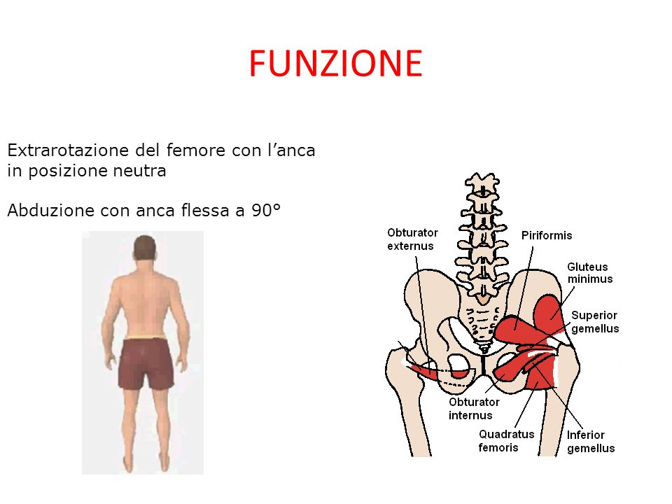 FUNZIONE Extrarotazione del femore con l'anca in posizione neutra