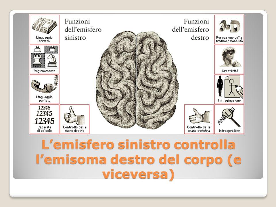 L'emisfero sinistro controlla l'emisoma destro del corpo (e viceversa)
