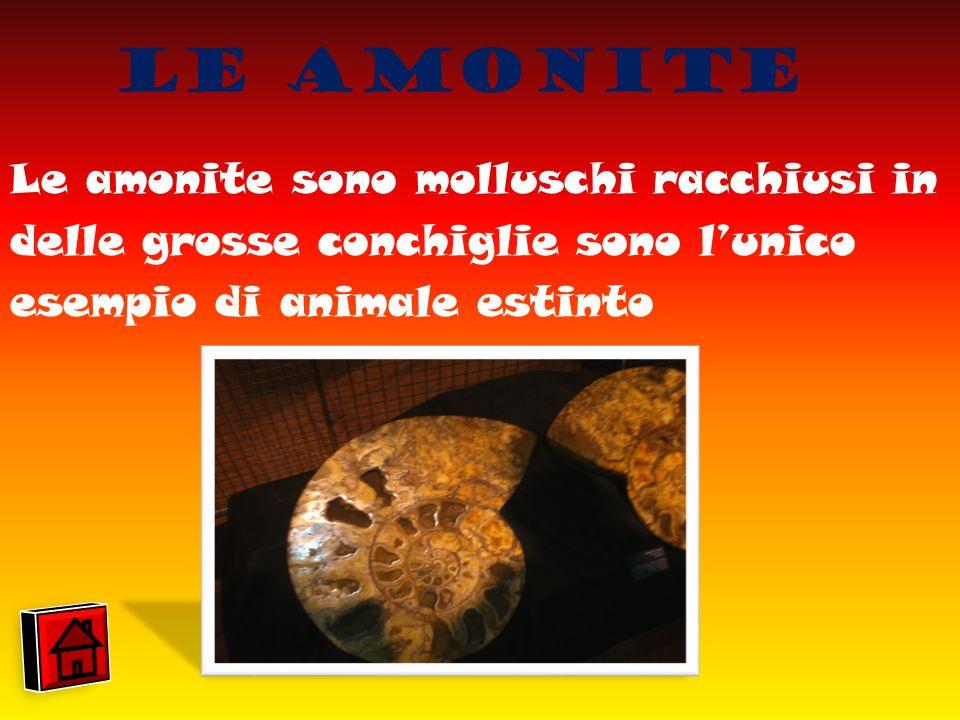 Le Amonite Le amonite sono molluschi racchiusi in delle grosse conchiglie sono l'unico esempio di animale estinto