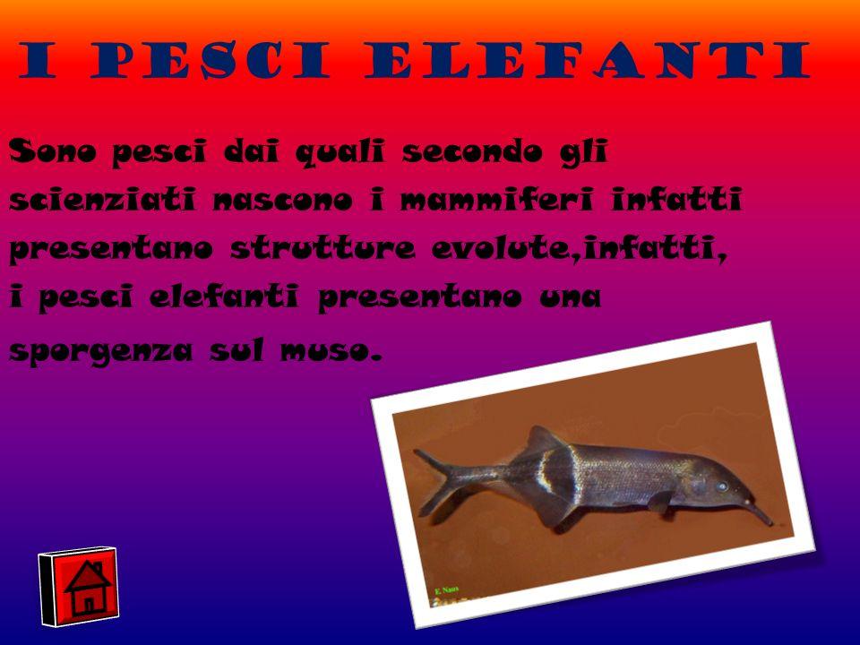 I pesci elefanti
