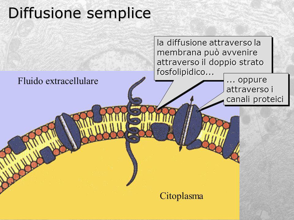 Diffusione semplice Fluido extracellulare Citoplasma
