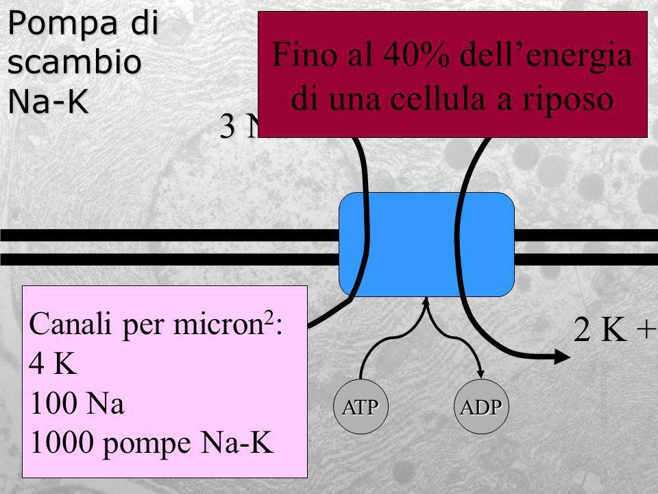 Fino al 40% dell'energia di una cellula a riposo 3 Na + 2 K +