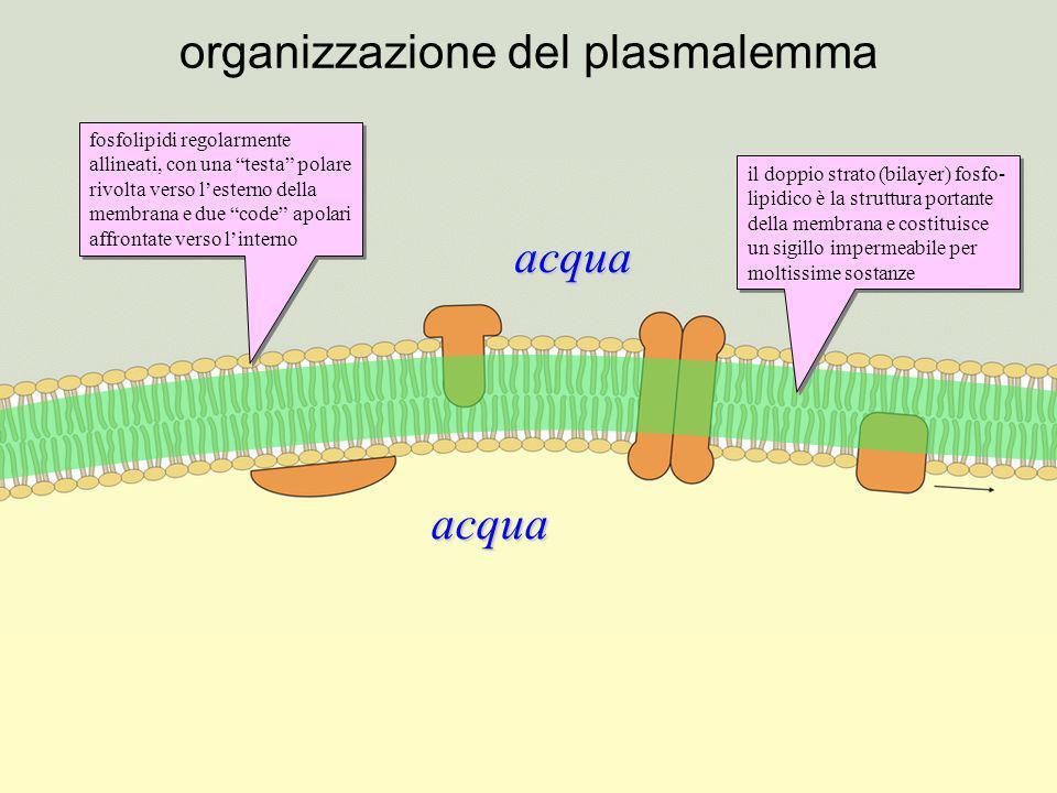 organizzazione del plasmalemma