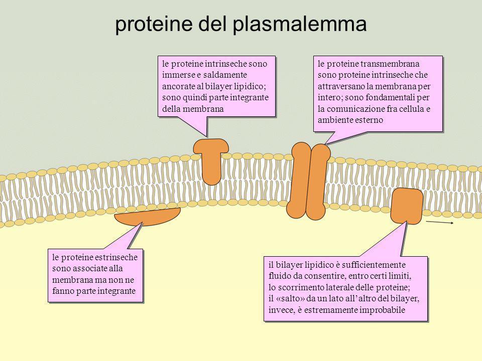 proteine del plasmalemma