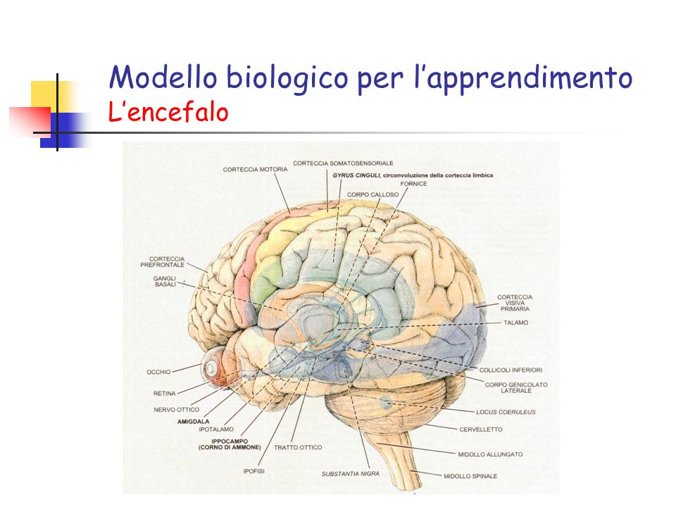 Modello biologico per l'apprendimento L'encefalo