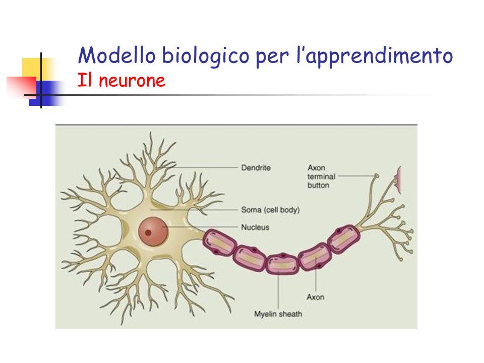 Modello biologico per l'apprendimento Il neurone