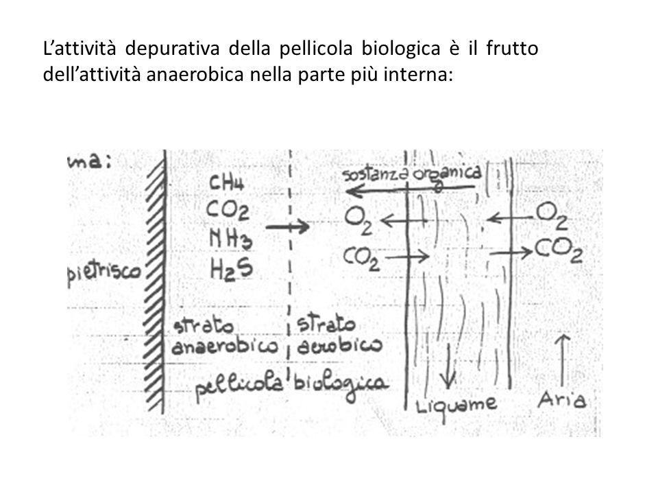 L'attività depurativa della pellicola biologica è il frutto dell'attività anaerobica nella parte più interna: