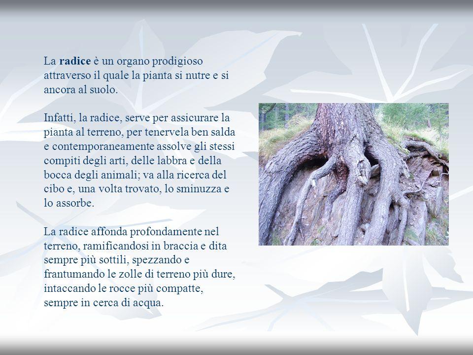 La radice è un organo prodigioso attraverso il quale la pianta si nutre e si ancora al suolo.