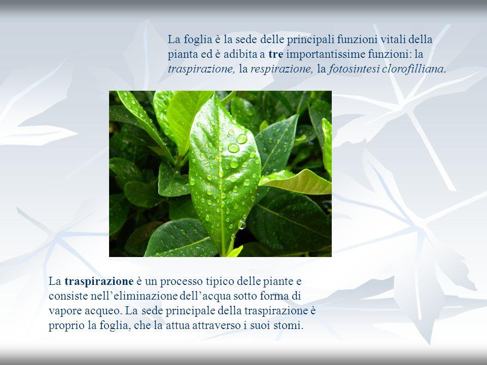 La foglia è la sede delle principali funzioni vitali della pianta ed è adibita a tre importantissime funzioni: la traspirazione, la respirazione, la fotosintesi clorofilliana.