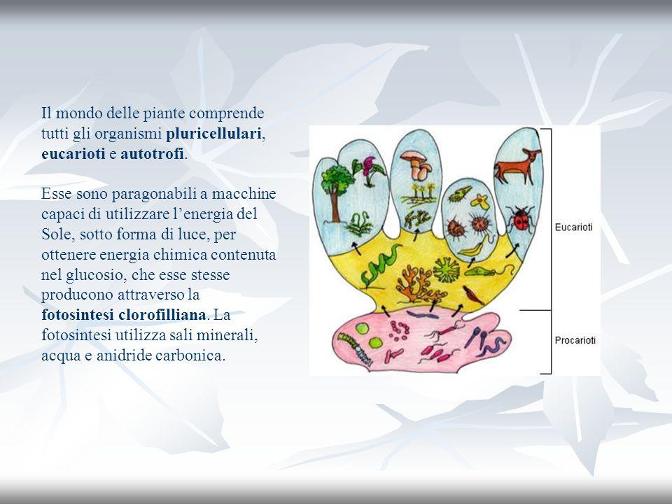 Il mondo delle piante comprende tutti gli organismi pluricellulari, eucarioti e autotrofi.