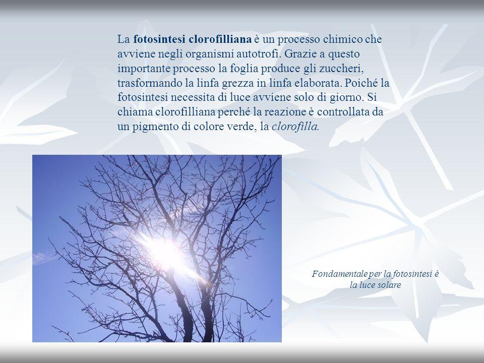 Fondamentale per la fotosintesi è la luce solare