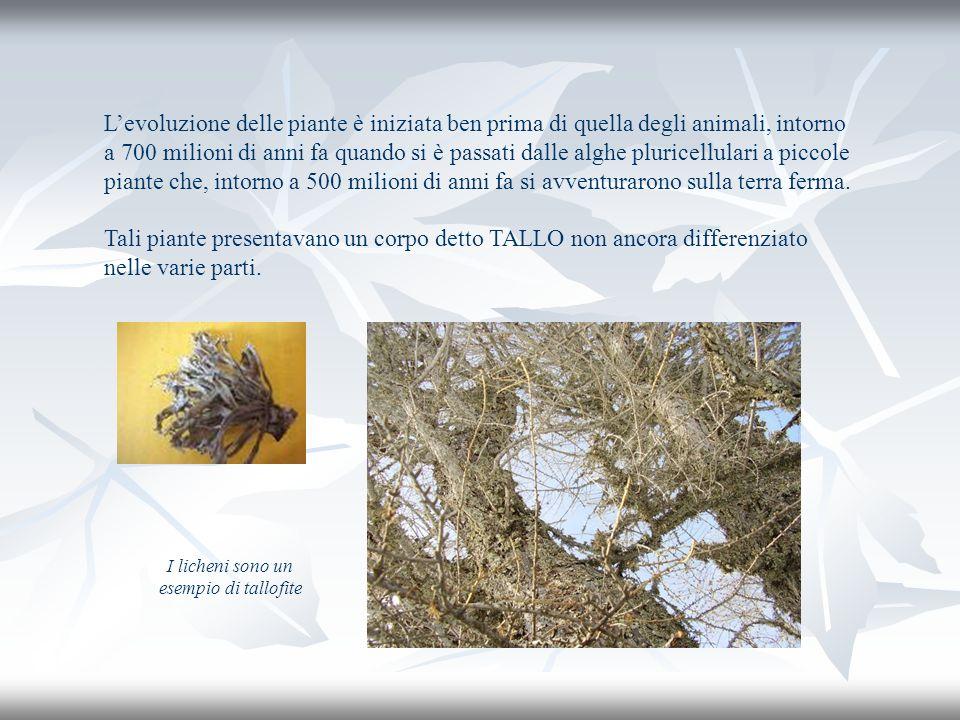 I licheni sono un esempio di tallofite