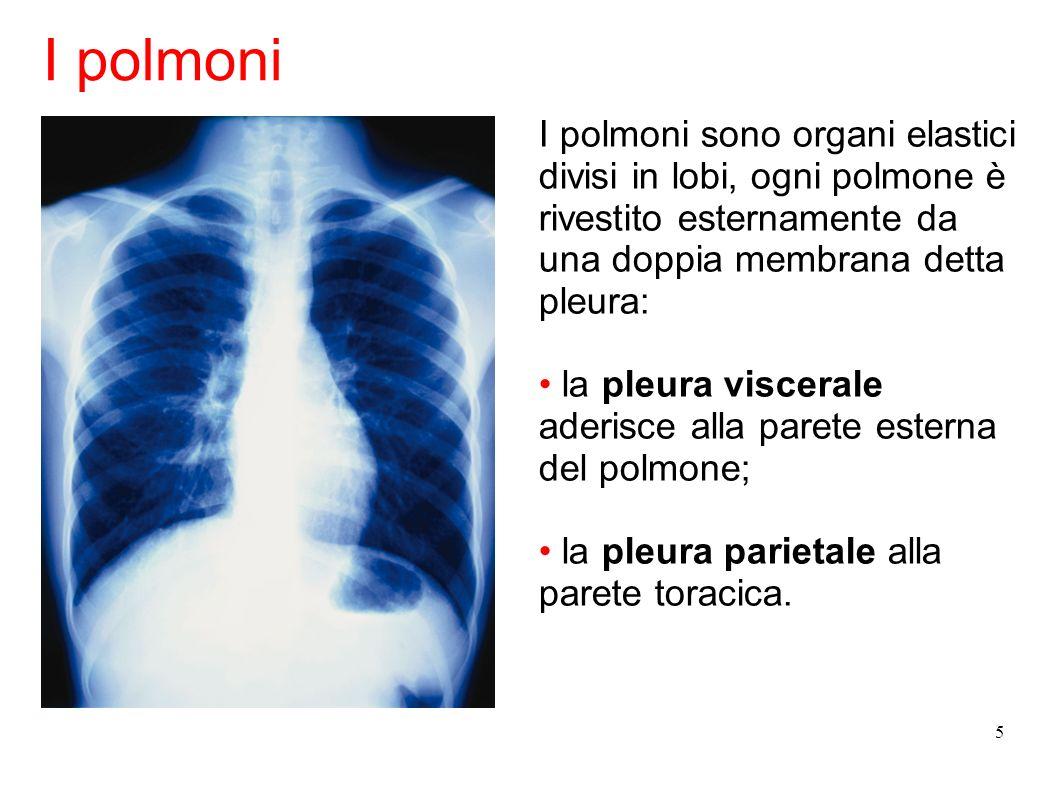 I polmoni I polmoni sono organi elastici divisi in lobi, ogni polmone è rivestito esternamente da una doppia membrana detta pleura: