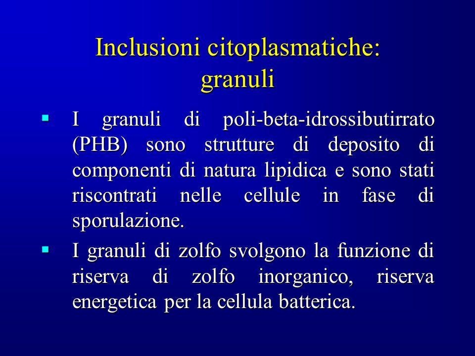 Inclusioni citoplasmatiche: granuli