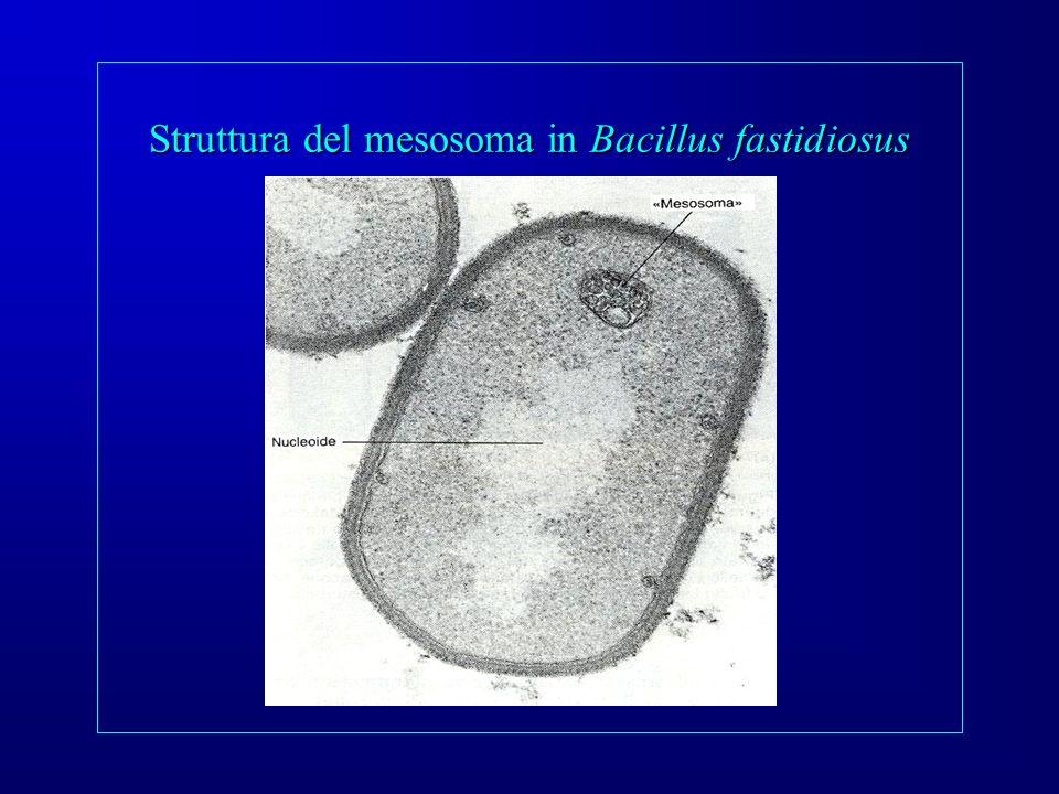 Struttura del mesosoma in Bacillus fastidiosus