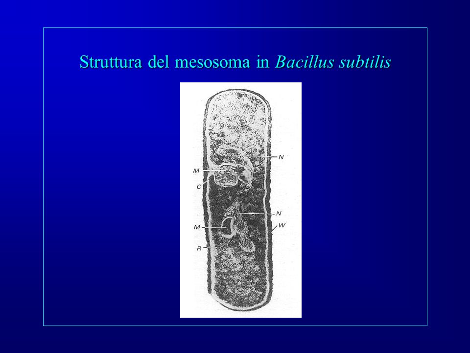 Struttura del mesosoma in Bacillus subtilis