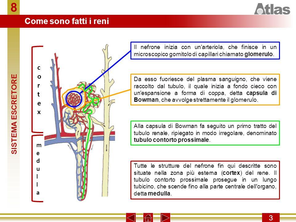 8 Come sono fatti i reni cortex SISTEMA ESCRETORE 3 medulla