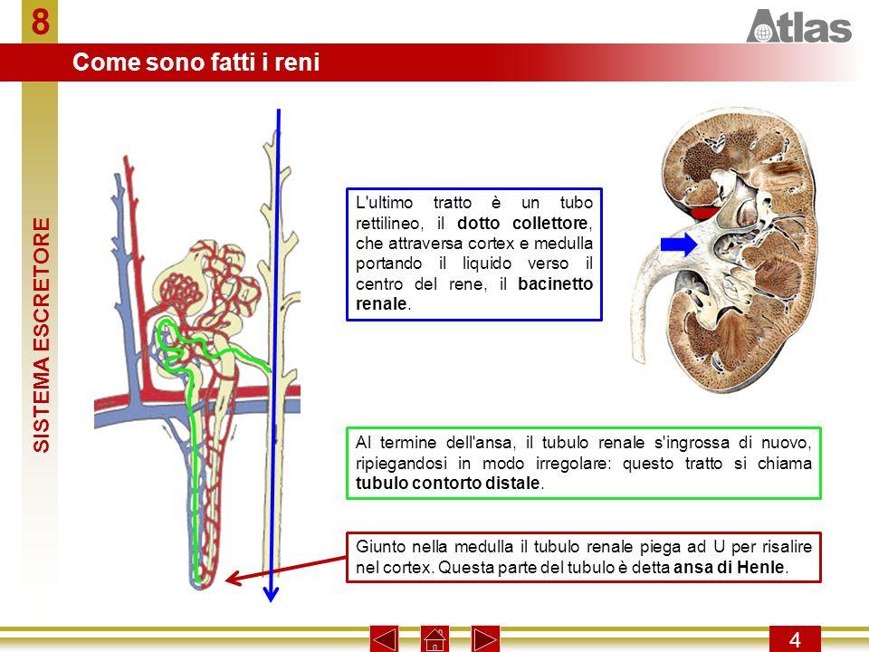 8 Come sono fatti i reni SISTEMA ESCRETORE 4