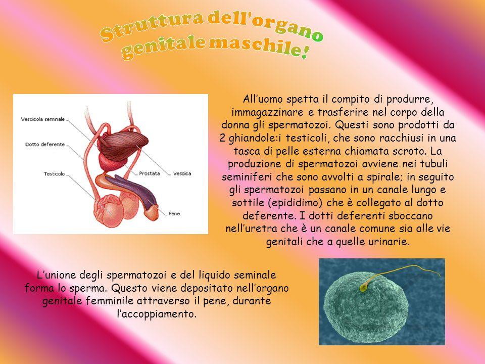 Struttura dell organo genitale maschile!