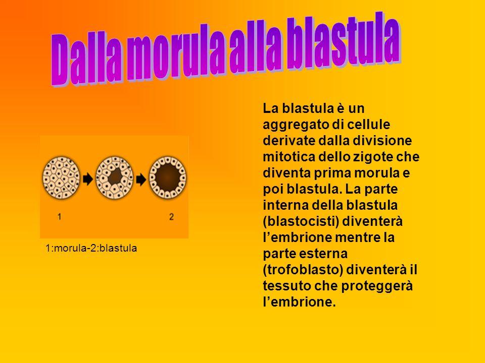 Dalla morula alla blastula
