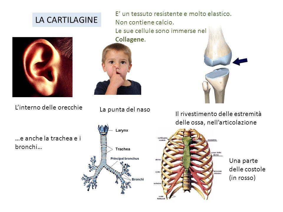 LA CARTILAGINE E' un tessuto resistente e molto elastico.