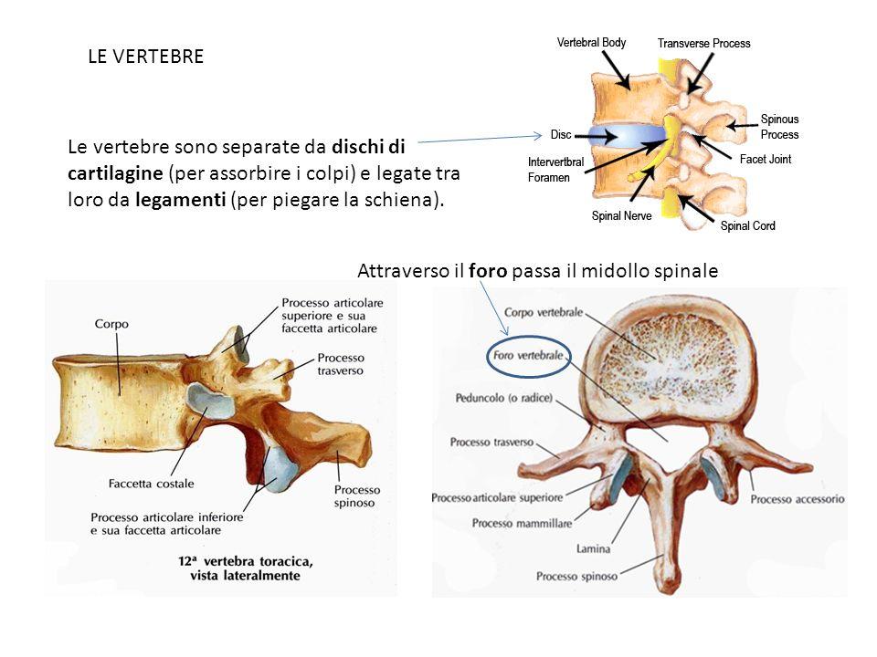 LE VERTEBRE Le vertebre sono separate da dischi di cartilagine (per assorbire i colpi) e legate tra loro da legamenti (per piegare la schiena).