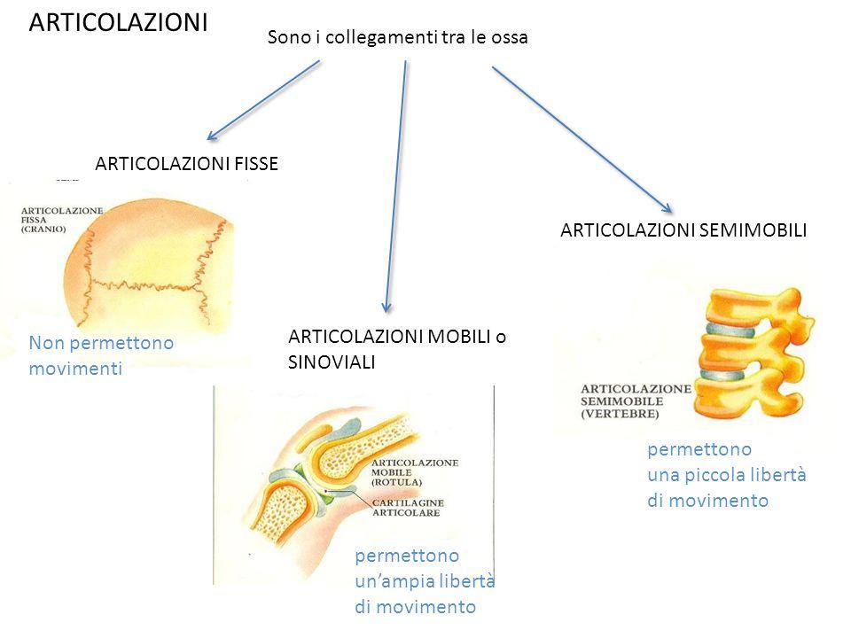 ARTICOLAZIONI Sono i collegamenti tra le ossa ARTICOLAZIONI FISSE