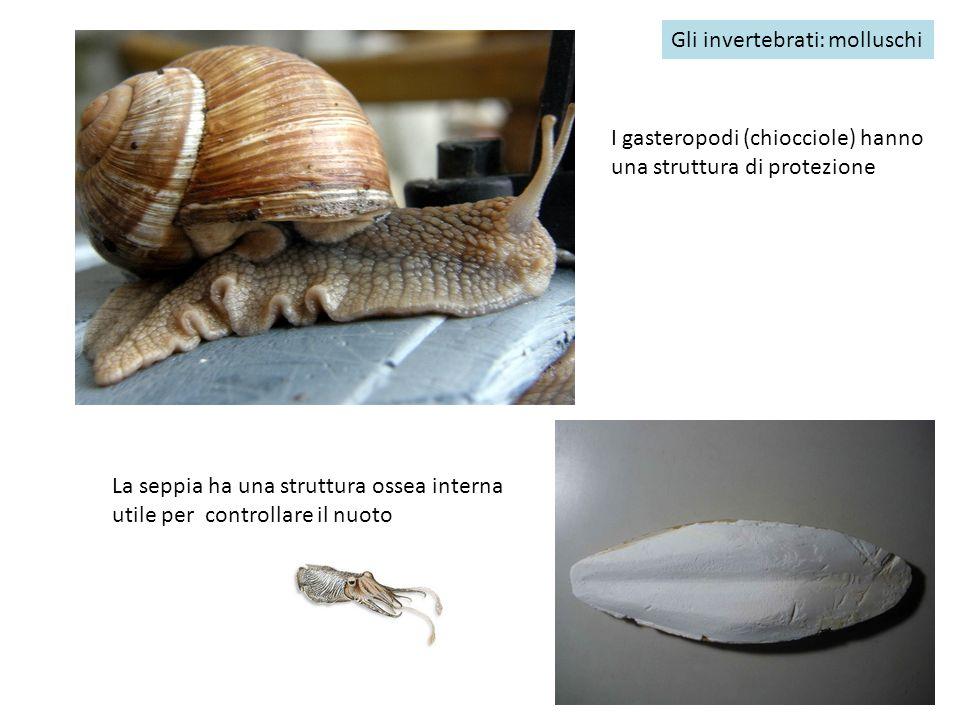 Gli invertebrati: molluschi